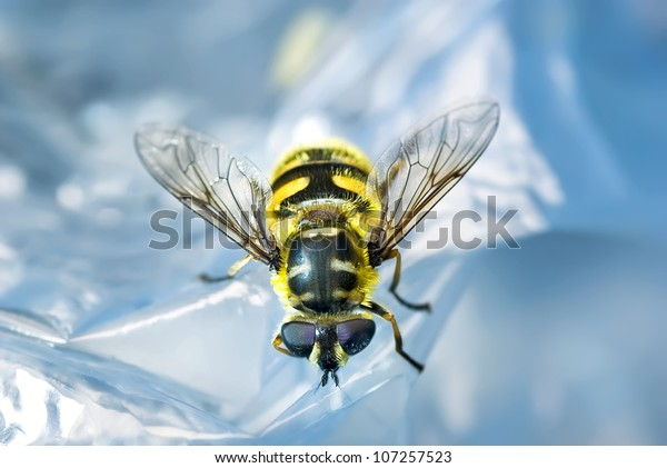 Close up of Hover Fly Resting on plastic cover
