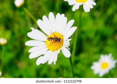 Close up of a Hoverfly collecting pollen from an Oxeye Daisy.