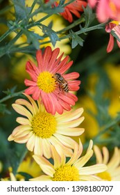 close up of a hoverfly on the blooming chrysanthemums