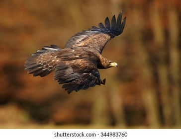 Close up hovering Golden Eagle with outstreched wings over autumn forest