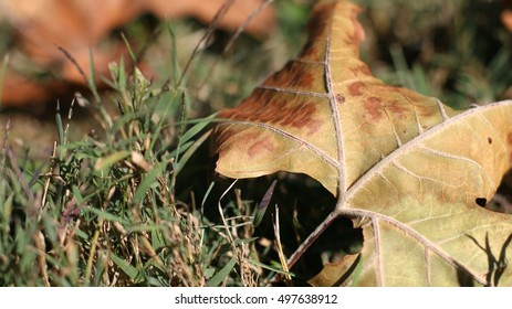 Close Up Of Huge Dead Brown Maple Leaf Laying In Green Grass During The Season Of Fall On A Farm In The Mountains Of South West Virginia