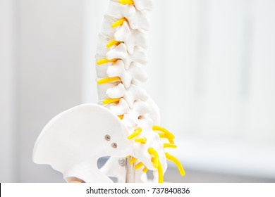 Close up human loins spine skeleton model. Medical clinic, education concept. Selective focus. Space for text.