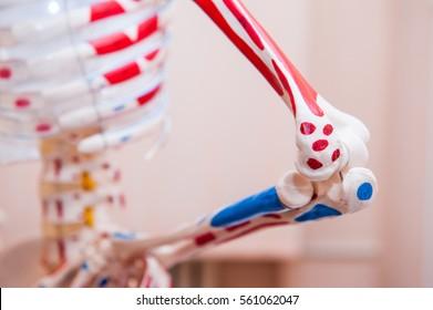 Close up human skeleton cubit anatomical model. Medical clinic concept. Selective focus