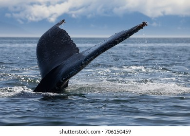 Close up of a humpback whale tail as it dives into the ocean
