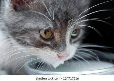 Close up of hungry cat with whiskers drinking milk. White, grey kitten licking milk. Black background