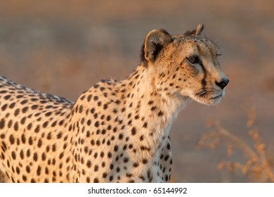 A close up of a hunting cheetah female