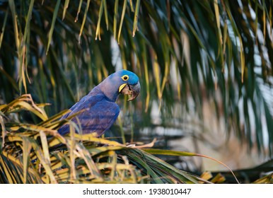 Close up of a Hyacinth macaw perched in a palm tree, South Pantanal, Brazil.