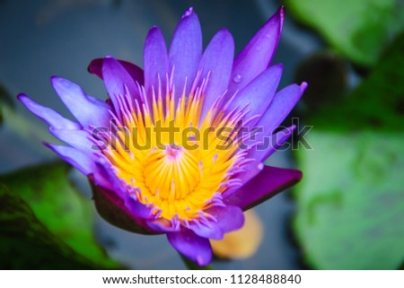Close hybrid purple lotus flower tropical stock photo edit now close up hybrid purple lotus flower king of siam a tropical waterlily which mightylinksfo