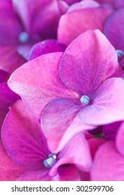 Close - up Hydrangea macrophylla summer and autumn flower