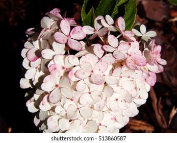 Close up of Hydrangea paniculata 'Renhy' 'Vanille Fraise' - panicle hydrangea