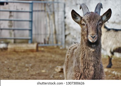 Close up of a ibex, photografed in a countryside farm.