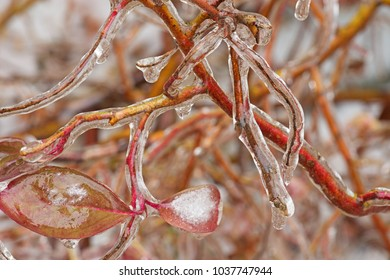 close up of iced branches and leaves from a winter ice storm