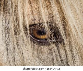 Close Up Icelandic Horse Eye in Mane