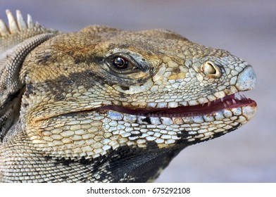 a close up to a iguana
