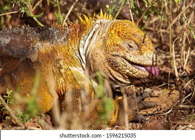 Close up of iguana in grass, Galapagos Islands