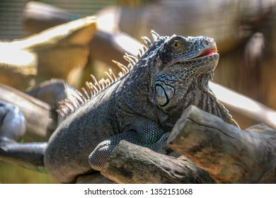 Close up of an iguana resting on a tree branch in a zoo.