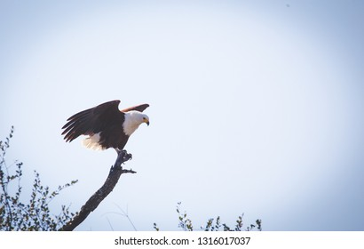Close up image of an African Fish Eagle in a tree at a lake in a national park in south africa
