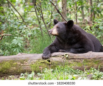 Close up image of an American Black Bear resting on a fallen log.  Summer in Northern Minnesota