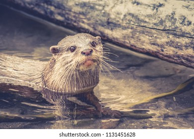 Close up image of an Asian small-clawed otter (Aonyx cinereus) with copy space.