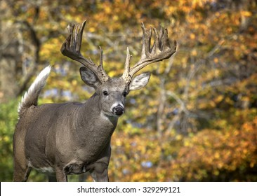 Close up image in autumn, of a big whitetail deer buck walking toward the camera.