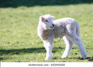 Close up image of a baby lamb with copy space