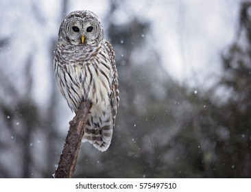 Close up image of a barred owl, in the wild, perched on a tree limb.  Snowy day in northern Wisconsin.