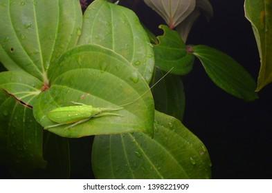 close up image of a beautiful green color katydid nymph