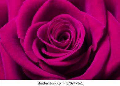 Close up image of beautiful magenta rose