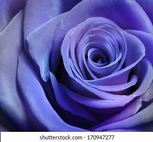 Close up image of beautiful purple rose