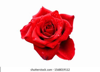 Close up image of beautiful red rose and dew with blur