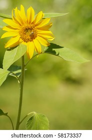 Close up image of a beautiful sunflower in the sunshine with copy space.