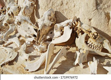 Close up image with blurred background of camel skeleton remains. Bones of a skull of camels. Tunisia, Sahara desert.