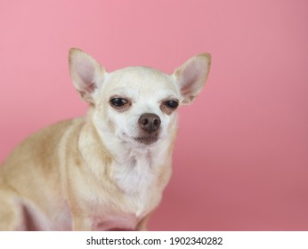 Close up image of  brown Chihuahua dog  sitting  on pink background,squinting  his eye. Pet emotional concept.