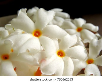 close up image of a bunch or cluster of fresh plucked white Night flowering Jasmine or Nyctanthes arbor-tristis or parijat Nyctanthes having orange stem with water droplets on petals placed in a bowl