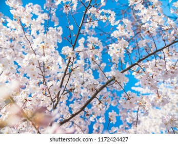 Close up image of cherry tree bloom and blue sky in the morning