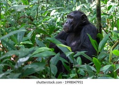 Close up image of chimpanzee within the forest of the Kibale National Park, Uganda, Africa