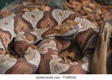 Close up image of Copperhead (Agkistrodon-contortrix) snake coiled and curled up