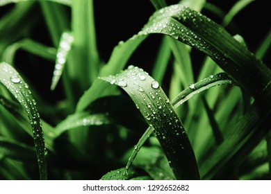 Close up image of cymbopogon nardus on black background, after rain. Juicy grass in water drops.
