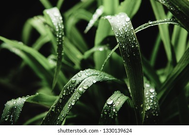 Close up image of cymbopogon nardus on black background, after rain.