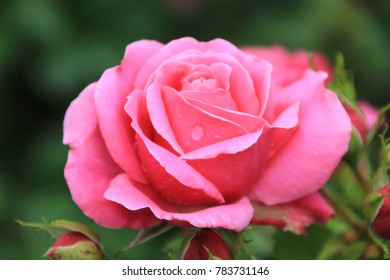 Close Up Image Of Delicate Pink Rose
