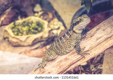 Close up image of an Eastern Water Dragon (Intellagama lesueurii lesueurii) with copy space