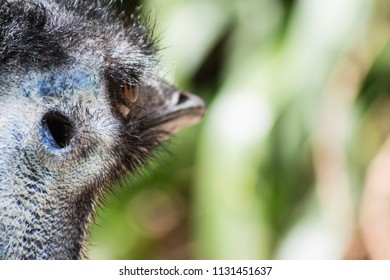 Close up image of an Emu (Dromaius novaehollandiae) head shot showing ear