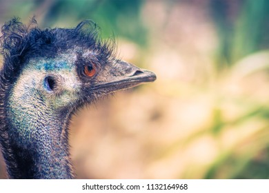 Close up image of an Emu (Dromaius novaehollandiae) head pofile