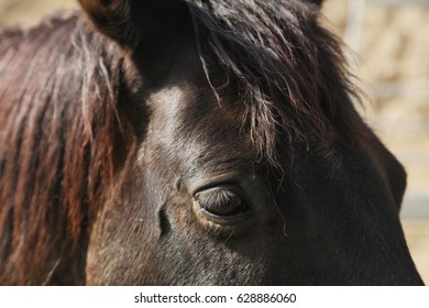 A close up image of the eye of a horse with mane and eyelashes.