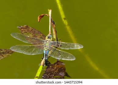 Close up image of a female Emperor dragonfly ( Anax imperator) ovipositing (laying eggs) on weed in a pond. Oxfordshire. England