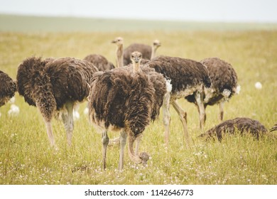 Close up image of female Ostriches feeding in a green meadow.