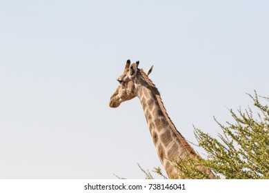 Close up image of Giraffe walking in the desert in the Northern Cape province of South Africa