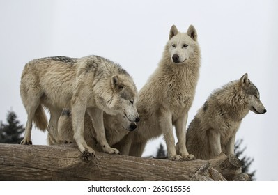 Close up image of a gray wolf pack, or timber wolf pack.  Winter scene with snowing.