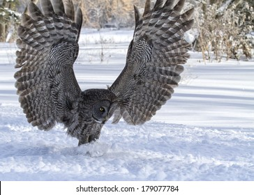 Close up image of a great gray owl in flight, focused on catching its prey.  Winter in Winnipeg, Manitoba.