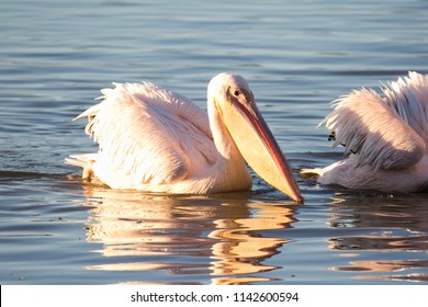 Close up image of a great white pelican feeding on bait fish in an estuary on the west coast of south africa